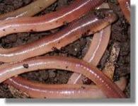 Tauwürmer  groß 12 Stück in Styroporbox